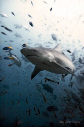 Bull shark enjoying the Fiji sun.  Taken with Nikon D90 w... by Sam Cahir 